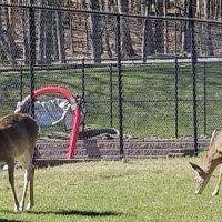 deer by lake house poconos