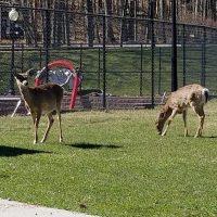 deer by lake wallenpaupack
